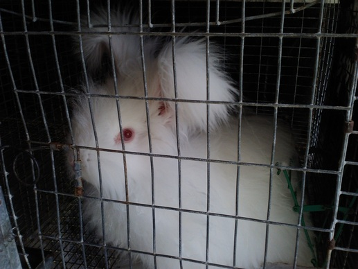Angora Rabbits Dolly Rock Farm And Fiber